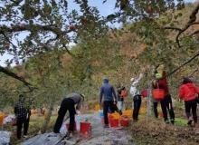 [의성]의성군 문화관광과, 사과수확 영농 지원