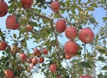 [의성]의성군농업기술센터, 관내 사과‧배 재배 농가에 예방약제 공급